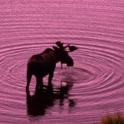 Gorgeous elk