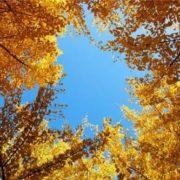 Gorgeous ginkgo tree