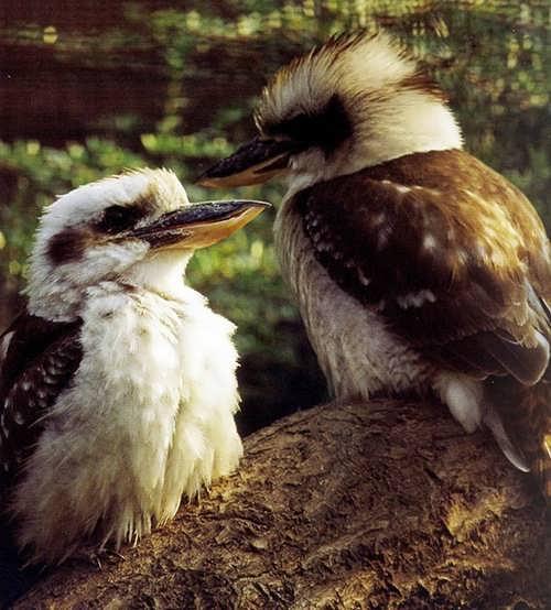 Gorgeous kookaburras