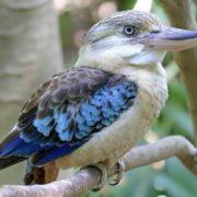 Graceful kookaburra
