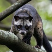 Great civet