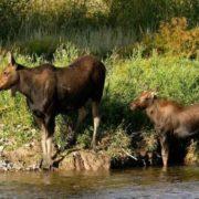 Great elk