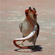 Great kookaburra