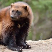 Great wolverine