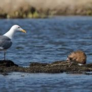 Gull and muskrat