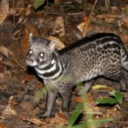 Interesting civet