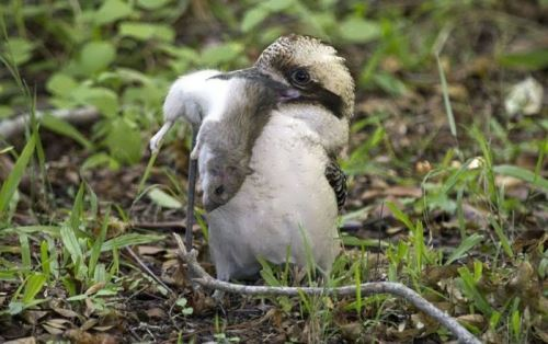 Interesting kookaburra