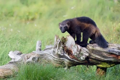 Interesting wolverine