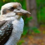 Kookaburra – Laughing Hans