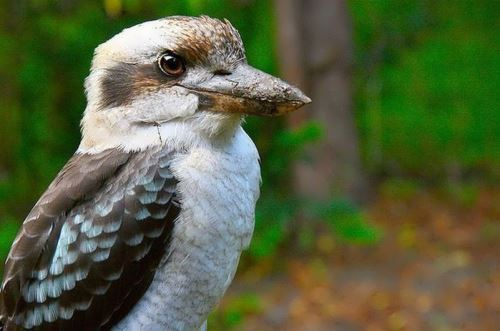 Kookaburra - Laughing Hans