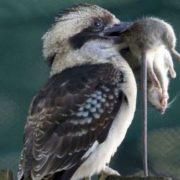 Kookaburra with its prey
