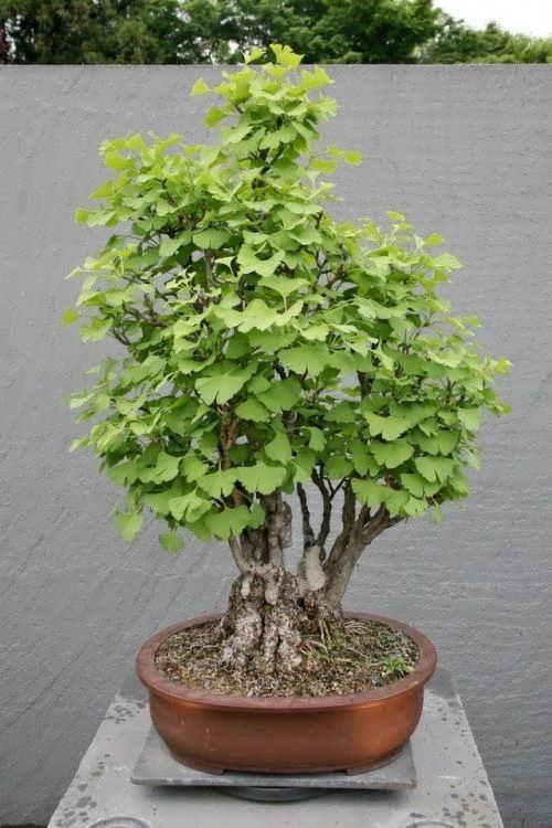 Little Ginkgo tree