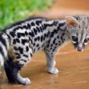 Little civet