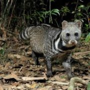 Lovely civet