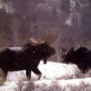 Magnificent elks