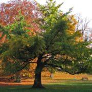 Magnificent ginkgo tree