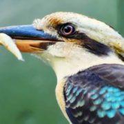 Magnificent kookaburra