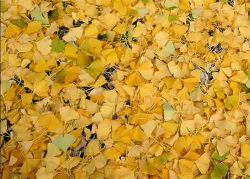 Majestic ginkgo leaves
