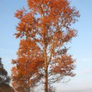 Majestic poplar