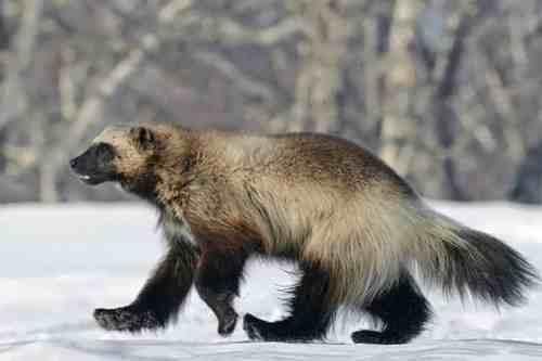 Majestic wolverine