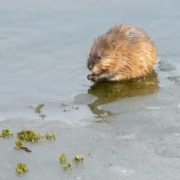 Muskrat in the water