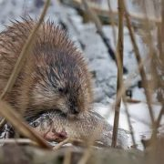 Muskrat with fish
