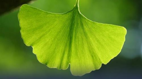 Picturesque ginkgo leaves
