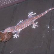 Pretty gecko