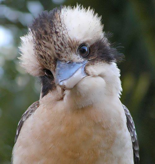 Pretty kookaburra