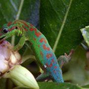 Stunning gecko