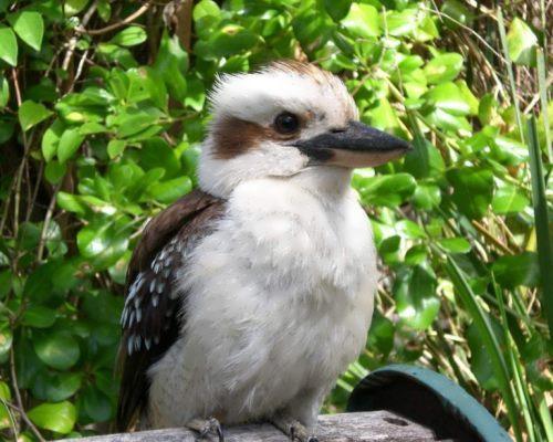 Stunning kookaburra
