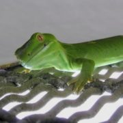 Wellington Green Gecko