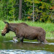 Wonderful elk