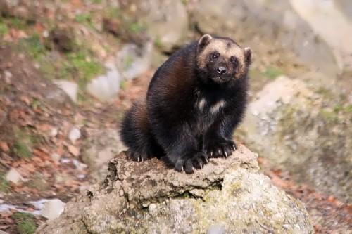 Wonderful wolverine