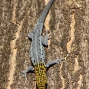 Yellow Headed Dwarf Gecko