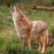 Amazing coyote