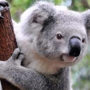 Amazing koala