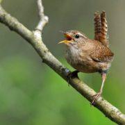 Amazing nightingale