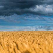 Amazing wheat. Photo by Jonathan Coe