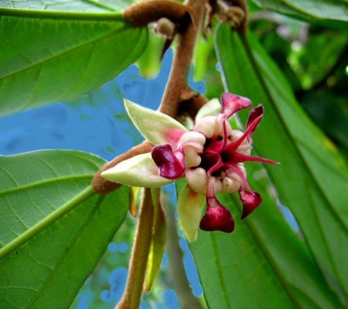 Attractive cacao tree flower