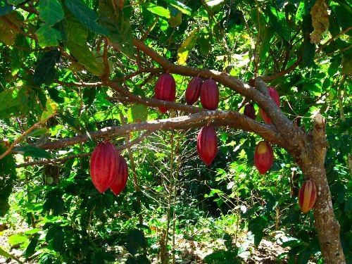 Attractive cacao tree