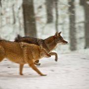 Attractive coyotes