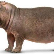 Attractive hippopotamus