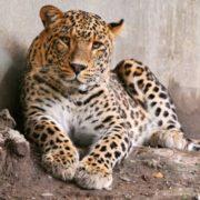 Attractive leopard