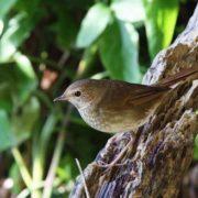 Attractive nightingale