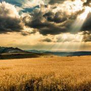 Attractive wheat. Photo by Jacques Szymanski