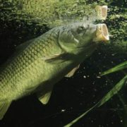 Awesome carp