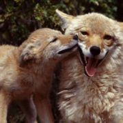 Awesome coyotes
