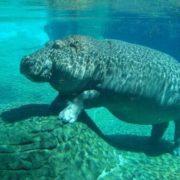 Awesome hippopotamus