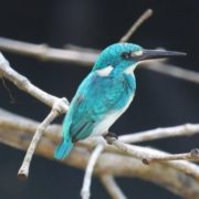 Awesome kingfisher